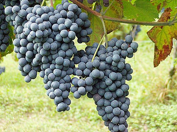 Grape_Nebbiolo.jpg