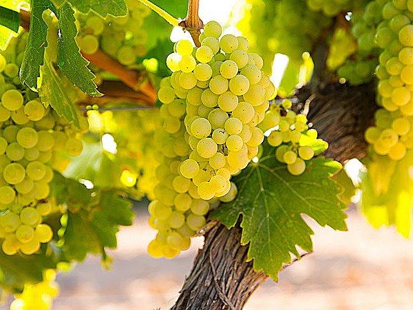 Grape_Chardonnay.jpg