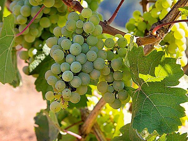 Grape_PinotBlanc.jpg