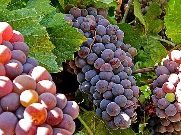 Grape_PinotGrigio.jpg